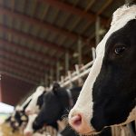 [La Tribune Objectif Languedoc Roussillon – 24/11/2017] – itk/Médria annonce 300 000 bovins connectés dans le monde