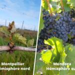 La vigne entre deux hémisphères