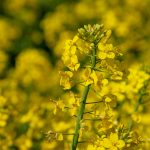 #3 Agroecology: transition, revolution, or leap into the void? The case of rapeseed meligethes